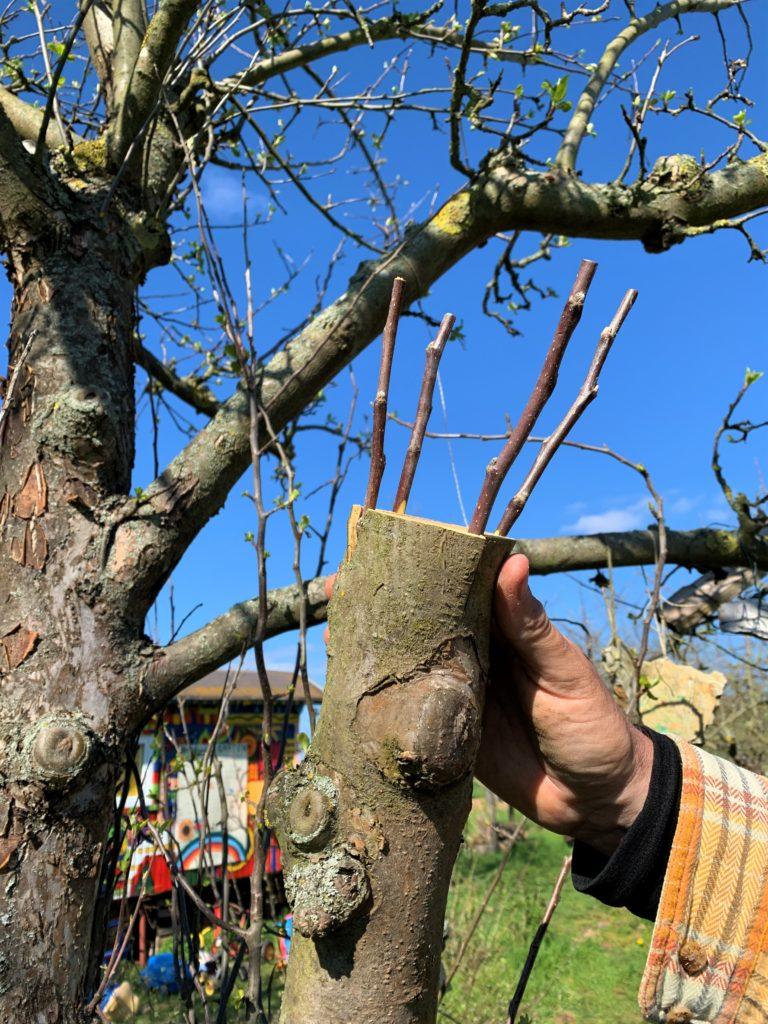 Apfelbaum mit frischen Edelreisern